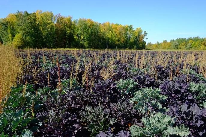 beautiful kale fields, Riga Farms